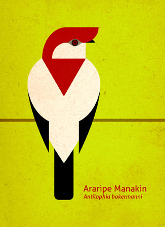 Scott Partridge - Illustration - Araripe Manakin
