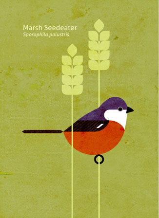 Scott Partridge - Illustration - Marsh Seedeater