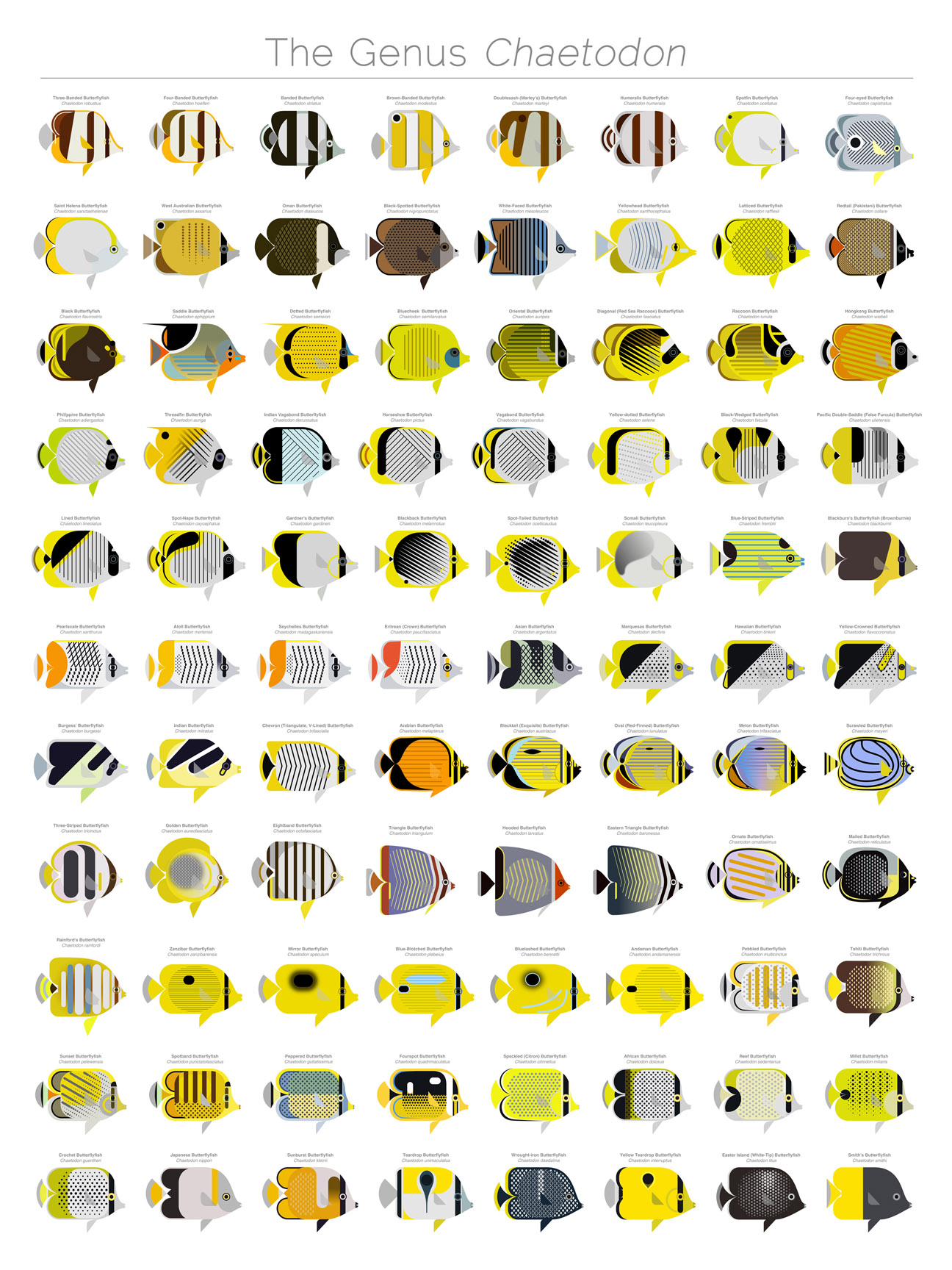 butterflyfishes - Chaetodon - illustration