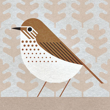 scott partridge - bird genoscape project - swainsons thrush